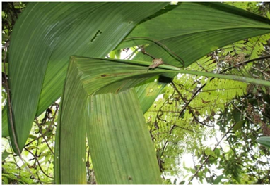 murciélagos frugívoros especies